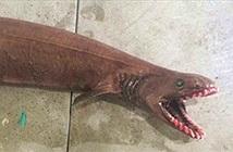 Bắt được cá mập sống từ thời tiền sử
