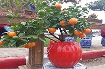 Cách trồng cây quất trong chậu đơn giản nhất