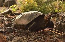 Rùa khổng lồ tưởng tuyệt chủng 100 năm trước nay lại tái xuất giang hồ