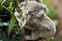 Vì sao coi gấu Koala là con vật vô cùng lười biếng?