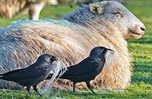 Quạ thông minh lén lút nhổ lông cừu để xây tổ