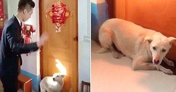 Chó quyết nằm lì trước cửa ngăn chú rể đón cô dâu