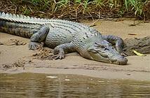 Mắc kẹt trong đầm lầy toàn cá sấu, cặp đôi thoát chết chỉ nhờ...