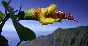 Thiết bị bay không người lái bất ngờ phát hiện loài hoa ở Hawaii được cho đã tuyệt chủng