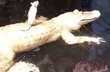 Cá sấu khốn đốn chỉ vì... 1 con chuột bạch