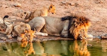 Ngoạn mục cảnh vua sư tử dẫn cả gia đình thị uy