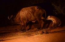 Cận cảnh màn săn đêm gay cấn của linh cẩu khôn lanh