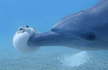 Bầy cá heo đánh cược với tử thần, ngậm cá nóc cực độc để tiêu khiển