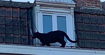 Đứng tim khi thấy báo đen đủng đỉnh đi dạo trên mái nhà giữa phố đông