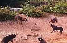 Video: Đàn chó nhà đại chiến rắn hổ mang khổng lồ