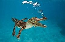 Cá sấu khổng lồ thống trị đại dương, ăn thịt khủng long