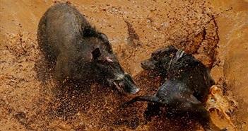 Ảnh động vật tuần: Cuộc chiến ác liệt giữa chó và lợn rừng