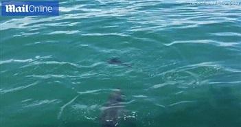 Hải cẩu thoát chết ngoạn mục khỏi hàm cá mập