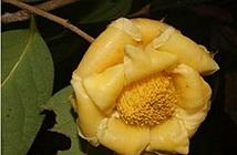 Phát hiện 4 loài hoa trà ở Việt Nam