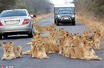Sư tử bơ con người, quyết nằm ăn vạ giữa đường