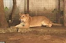 Choáng váng nuôi sư tử làm... chó giữ nhà
