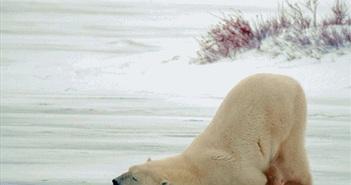 Gấu Bắc cực lười biếng đi săn, ủn mông mãi cực yêu