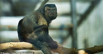 Khỉ mặt người ở Trung Quốc 19 năm không tìm được bạn đời