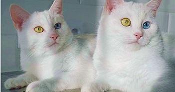 """Cặp mèo """"đẹp nhất thế giới"""" gây mê hoặc với mắt tạp sắc"""