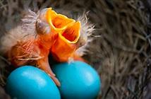 Khám phá sửng sốt về loài chim đẻ trứng như trứng rồng