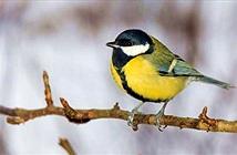 Lý do loài chim dễ thương thành sát thủ điên loạn