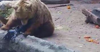 Gấu cứu quạ bị chết đuối trong hồ nước