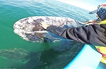 Bất ngờ với sự thật về làn da của loài cá voi xám