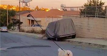 Dắt chó đi dạo bằng drone để tránh Covid-19