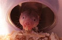 Ngỡ ngàng chuột chũi có thể sống gần như không cần oxy