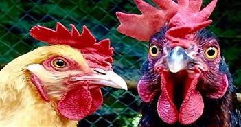 Trung Quốc triển khai đội quân gà đối phó đại dịch châu chấu