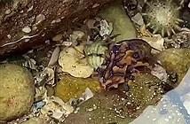 Phát hiện bạch tuộc có nọc độc hơn cả rắn hổ mang ở Australia