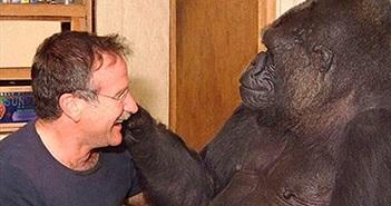 Chuyện chưa biết về chú khỉ đột thông minh nhất thế giới