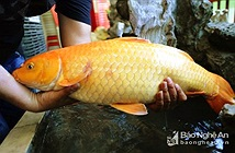 Cá chép vàng khủng sa bẫy cần thủ ở Nghệ An