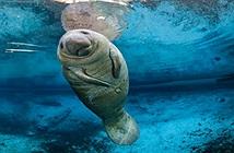 Đàn lợn biển hoảng loạn chỉ vì một xô nước