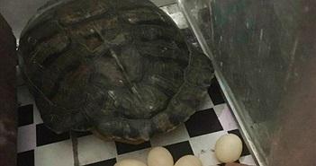 Hy hữu rùa đẻ trong nhà dân sau 2 tuần nuôi trên sân thượng
