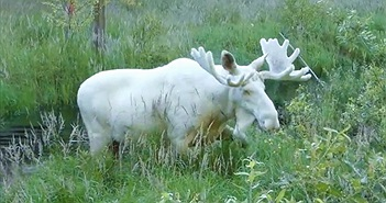 Nai sừng tấm có bộ lông trắng toát