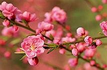 Kỳ lạ hoa đào nở khi chớm thu