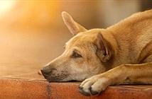 Chủ nhân đau tim mất, chó trung thành níu chặt quan tài