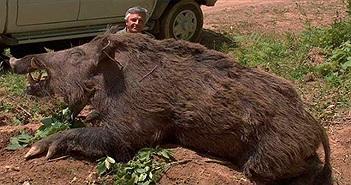"""Mỹ đau đầu vì """"bom hẹn giờ"""" siêu lợn rừng bắn mãi không hết"""