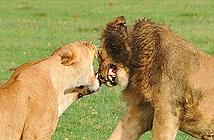 """Sư tử cái bất ngờ giết chết """"bạn đời"""" của mình tại sở thú Mỹ"""