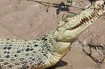 Tìm thấy cá thể cá sấu trắng cực hiếm tại Úc
