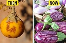 Tổ tiên của các loại rau quả mà ta vẫn ăn ngày nay trông như thế nào?