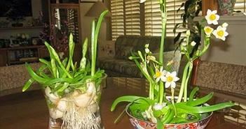 Cách trồng hoa thủy tiên đón Tết cho năm mới an lành
