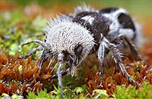 """Tò mò kiến gấu trúc được mệnh danh """"sát thủ bò"""""""