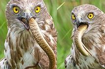 Đại bàng chân ngắn ngậm chặt rắn hổ mang