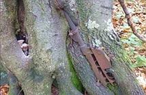 ẢNH: Súng trường, lựu đạn bị thân cây nuốt chửng