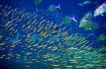 Loài cá đang bị mất phương hướng do nồng độ CO2 cao