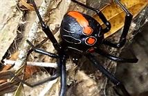 Phát hiện họ hàng mới của nhện Góa phụ đen có kích thước khổng lồ