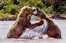 Gấu nâu hoang dã tung đủ chiêu ác dằn mặt đồng loại
