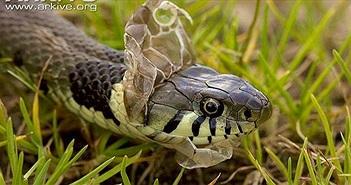 Vì sao rắn lột xác yếu ớt tột cùng?